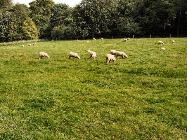 Sheep in field at Singleton