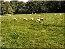 SU8712 : Sheep in field at Singleton by Paul Gillett