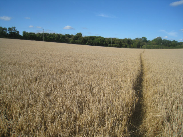 Sloping wheat field