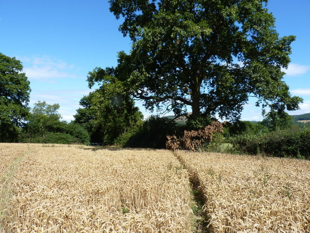 Footpath through ripe wheat