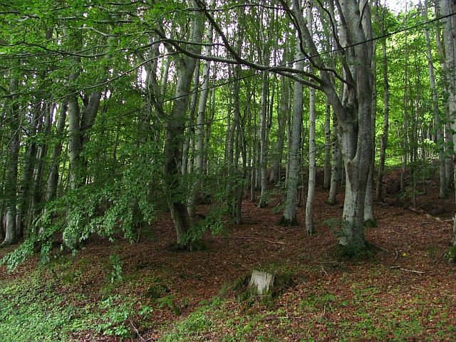Beech wood, Drummond Hill