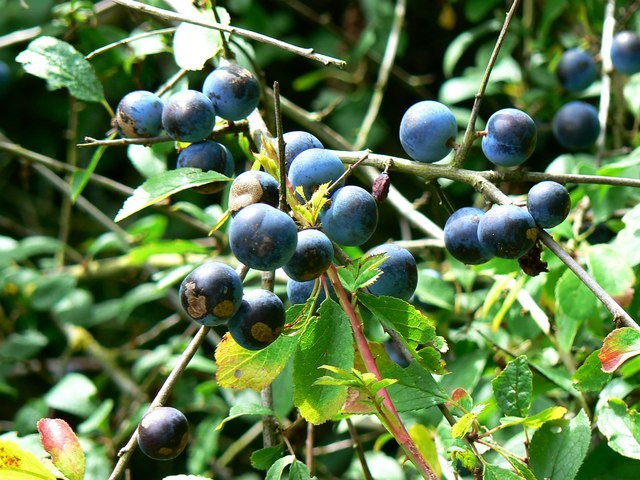 Sloes, Rigsby's Lane, Minety