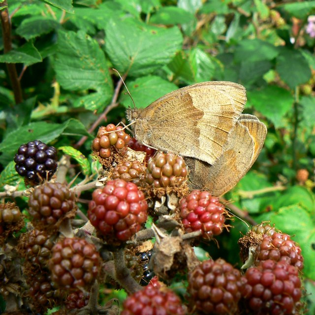 Butterflies and blackberries, Rigsby's Lane, Minety