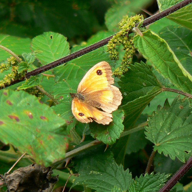Butterfly and nettles, Rigsby's Lane, Minety