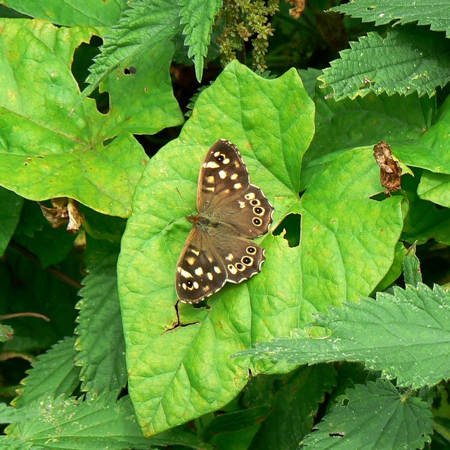 Butterfly and bindweed, Rigsby's Lane, Minety