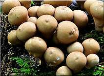 J4681 : Fungus, Crawfordsburn Country Park 2011-4 by Albert Bridge