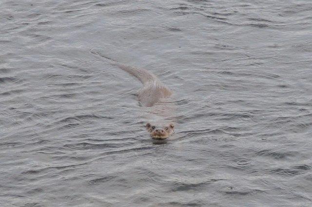 Otter in Afon Glaslyn