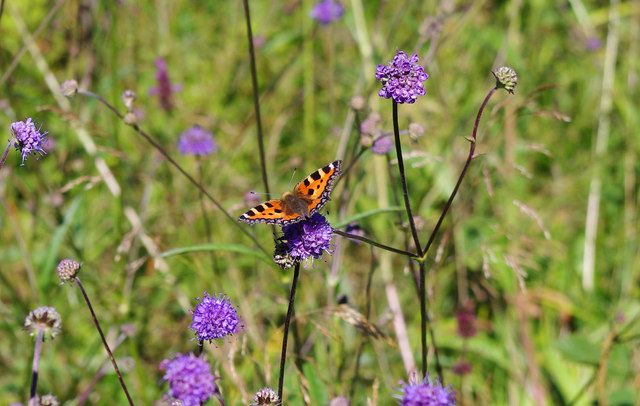 Small tortoiseshell butterfly in Trench Wood, near Sale Green