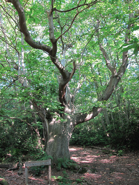 Chestnut Tree in Mallydams Wood