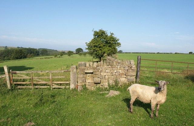 Sheep near The Oatlands