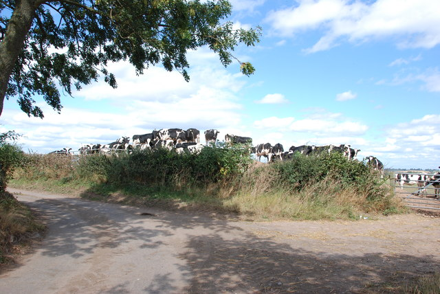 Cattle on a Bank