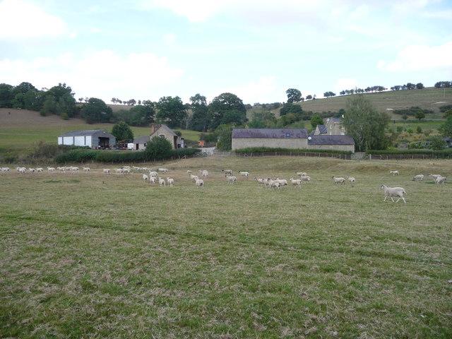 Large flock of sheep in the Teme valley near Leintwardine