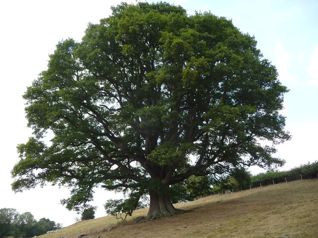 Mature Oak tree in the Teme valley