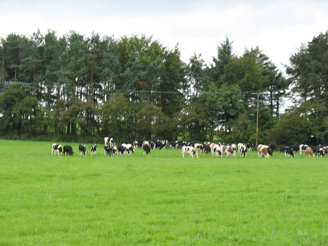 Cattle and farmland near the Miners' Arms crossroads