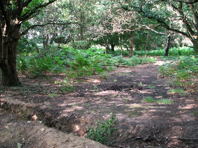 Bracken growing at Ringland Hills