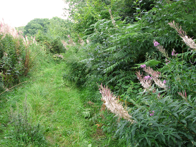 Willowherb growing alongside Sandy Lane, Ringland Hills