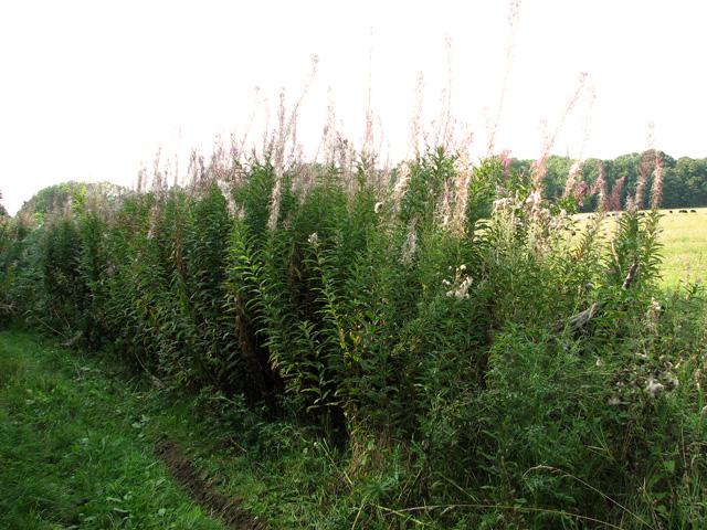 Willowherb growing alongside Sandy Lane, Ringland Hills
