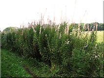 TG1312 : Willowherb growing alongside Sandy Lane, Ringland Hills by Evelyn Simak
