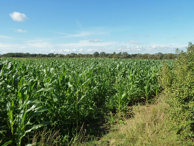 Footpath Berwick 12 gets lost in the maize