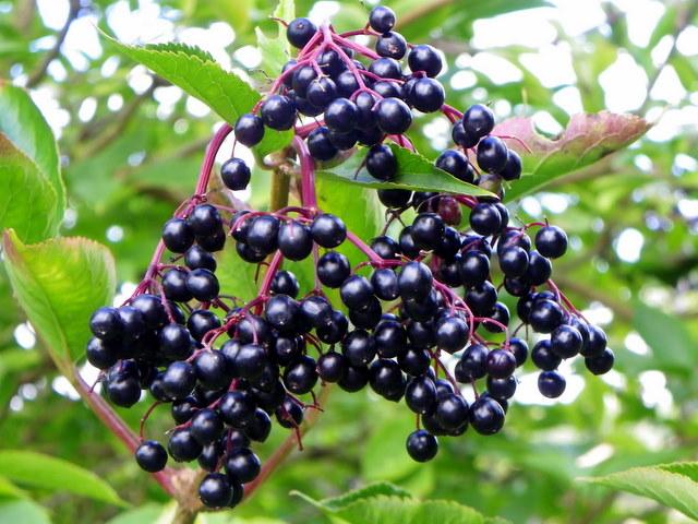 Elderberries, Flouse Hole