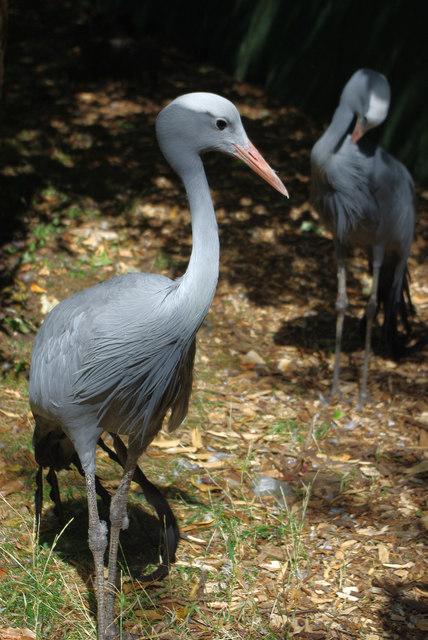 Blue Crane (Grus paradisea) at Birmingham Nature Centre