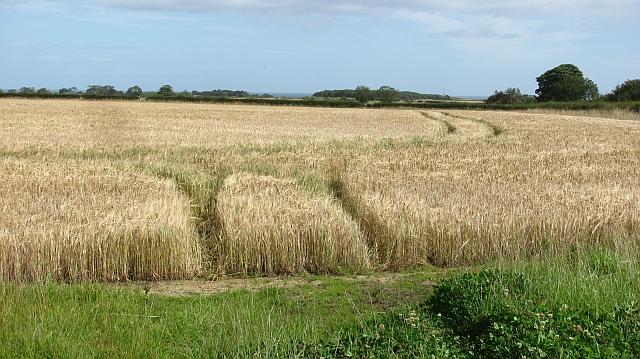 A field of barley on Embledon Moor