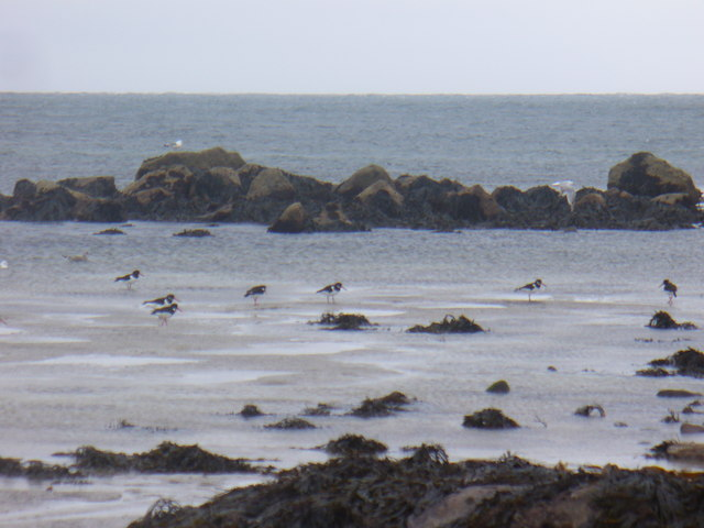 Oystercatchers Looking for Dinner