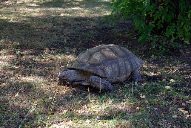 African spurred tortoise (Geochelone sulcata) at Birmingham Nature Centre