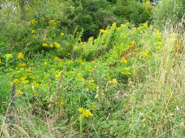 Golden Rod (Solidago virgaurea), Flouse Hole