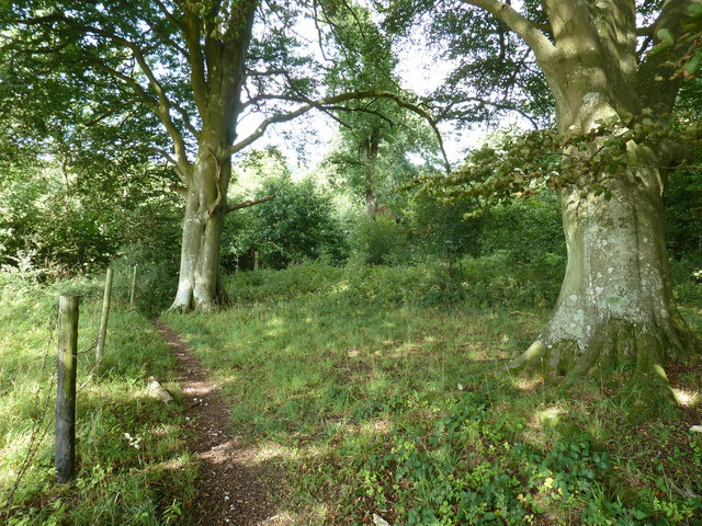 Beech trees by footpath on the edge of Levin down access land
