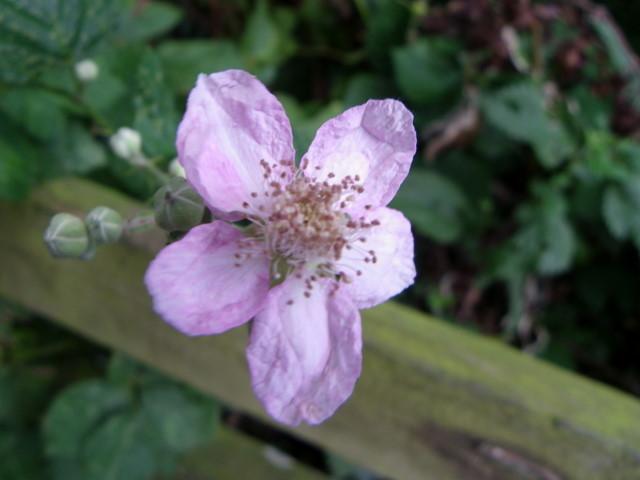 Blackberry flower, Flouse Hole