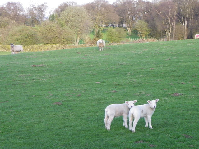 Ewes and lambs near Sawley