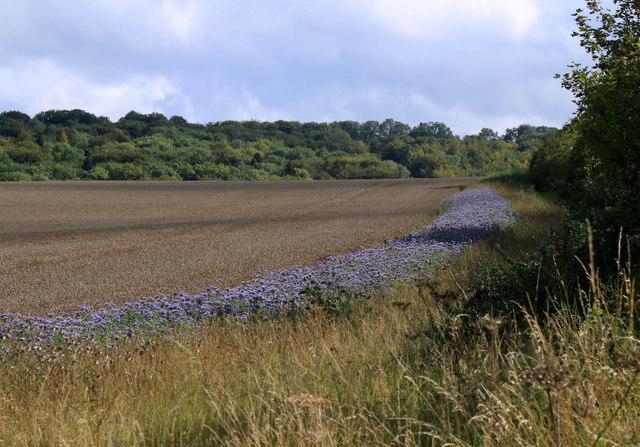 """2011 : Blue """"road"""" in a wheatfield"""