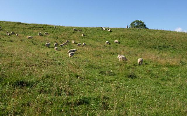 Sheep near Haverah Park Top