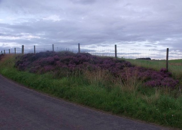 Near Shortrig, bank of heather