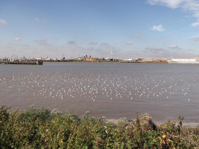 Large flock of terns in the River Thames