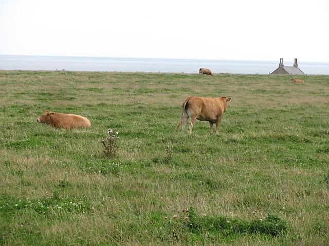 Cattle, Howick