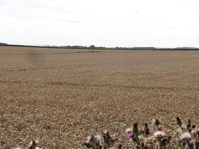 Wheat field, Low Stead