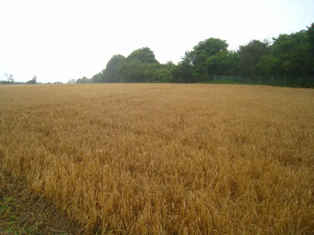 Wheat field by the railway