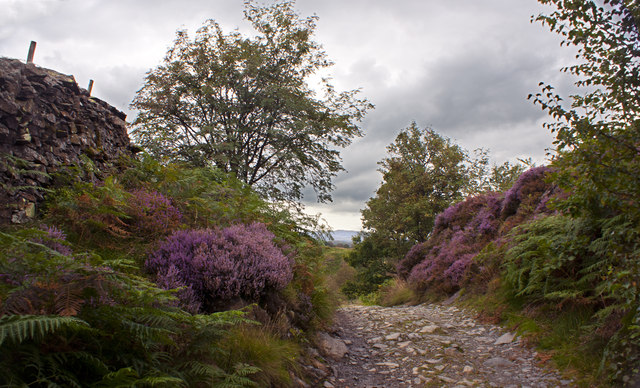 Flowering heather lines the path