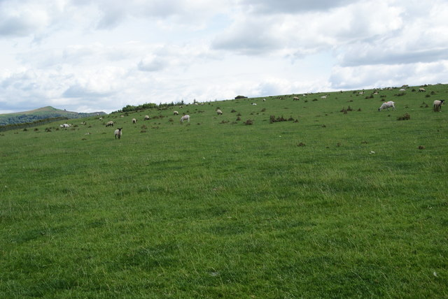 Sheep on Scarnber Hill