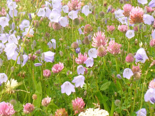 Machair Flowers, Vatersay