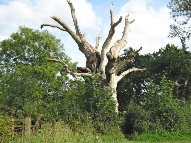 Old oak tree (Gog)