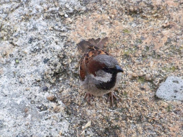 House Sparrow (Passer domesticus), Town Park, Hugh Town, St Mary's, Isles Of Scilly