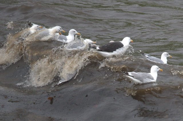 Gulls riding a wave at Norwick