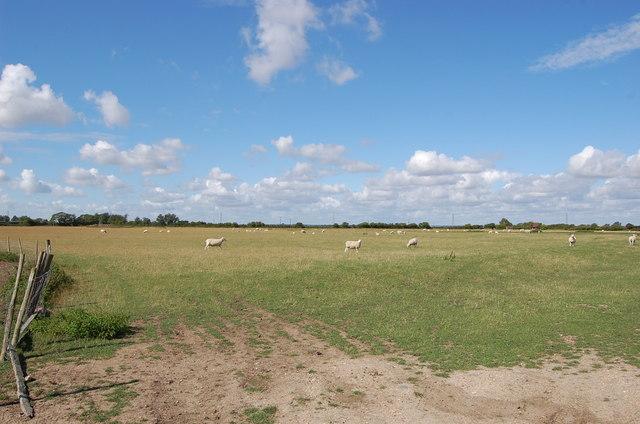 Sheep in field off Pickneybush lane