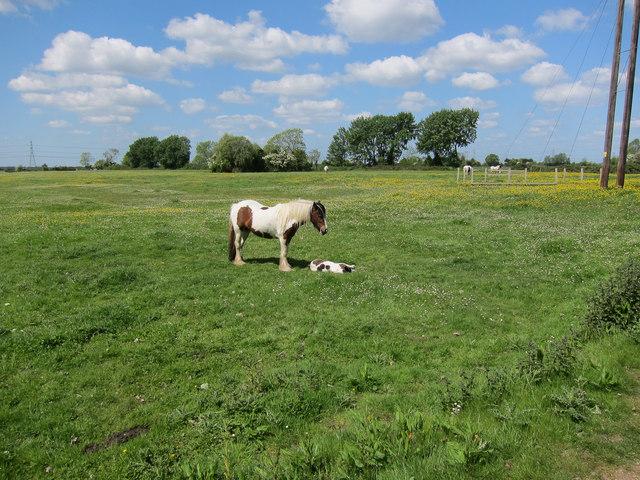 Horses on South Horse Fen