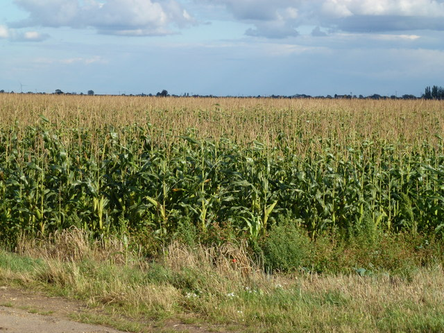 Maize, Knarr Fen Road near Thorney