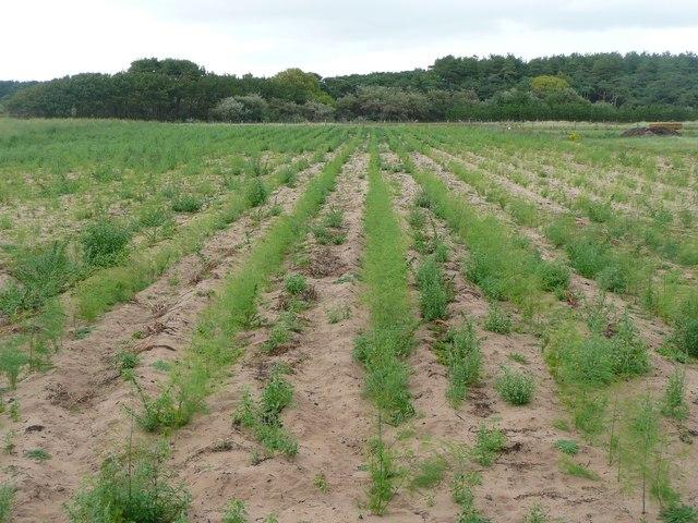 Asparagus field, Formby