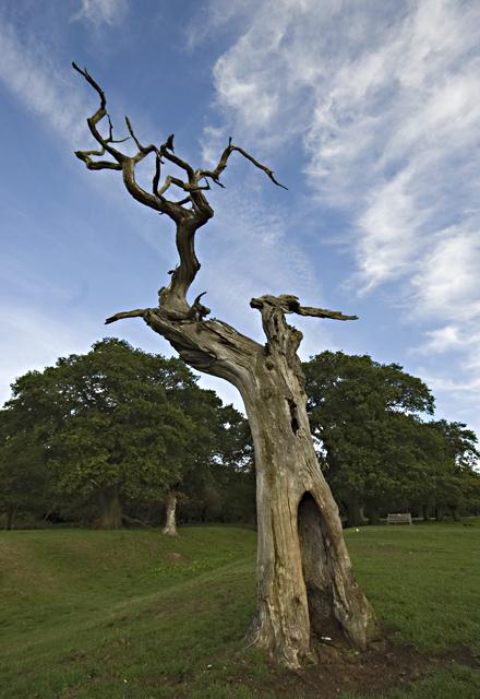 Dead tree, Beverley Westwood